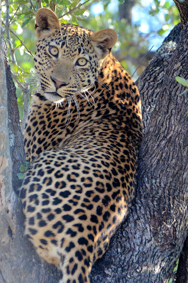 Ravenscourt leopard at Singita Game Reserve © A. Lynn