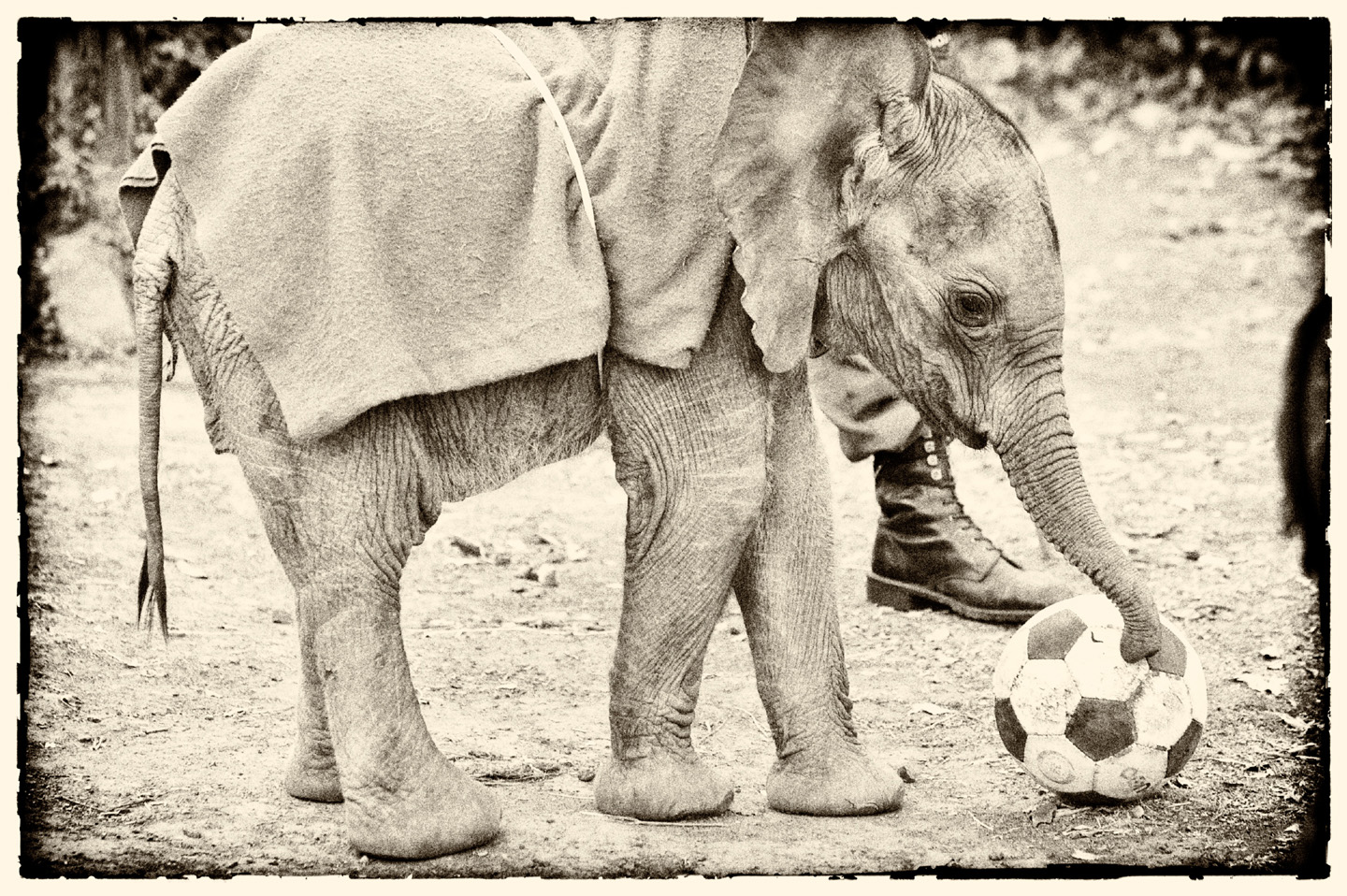 Elephant © Photograph by Robert Carr-Hartley