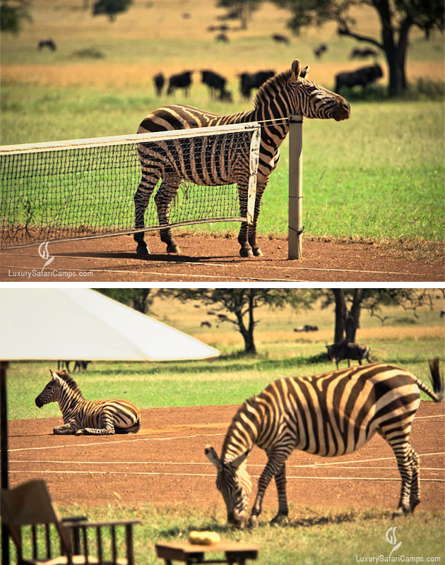 Zebra on the tennis court at LuxurySafariCamps.com