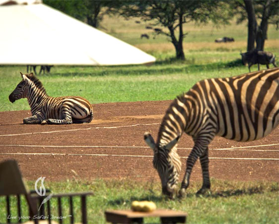 Tennis Court Zebra at Singita Sabora Camp