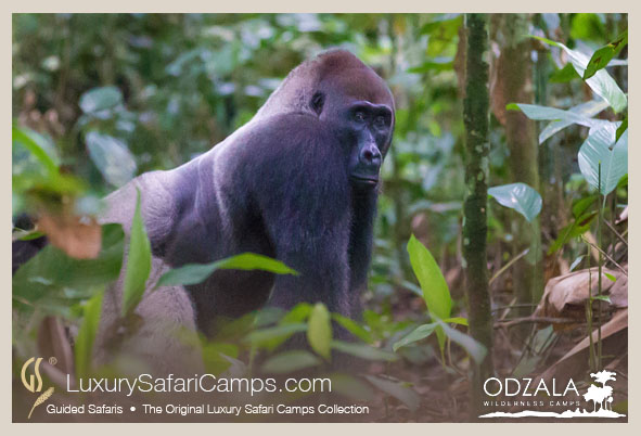 GORILLA TRACKING PROGRAM at Odzala Camps