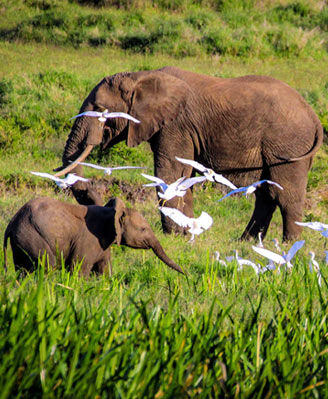 Egrets & Elephants