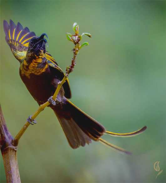 Golden Winged Sunbird in Kenya's lake highlands