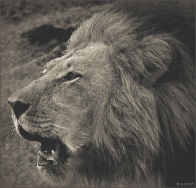 Africa Black-maned Lion - S.Hyet