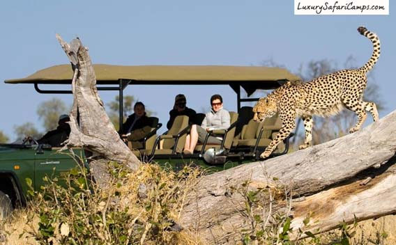 Big Predator Viewing at Zarafa Camp